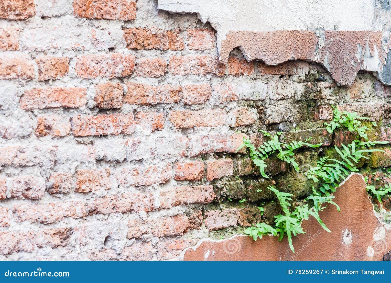 Φτέρη που ζει στον τοίχο τούβλων