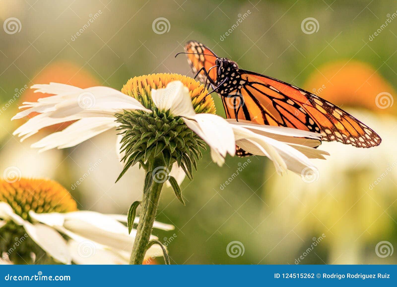 Φτερά της πεταλούδας μοναρχών σε μια άσπρη μαργαρίτα