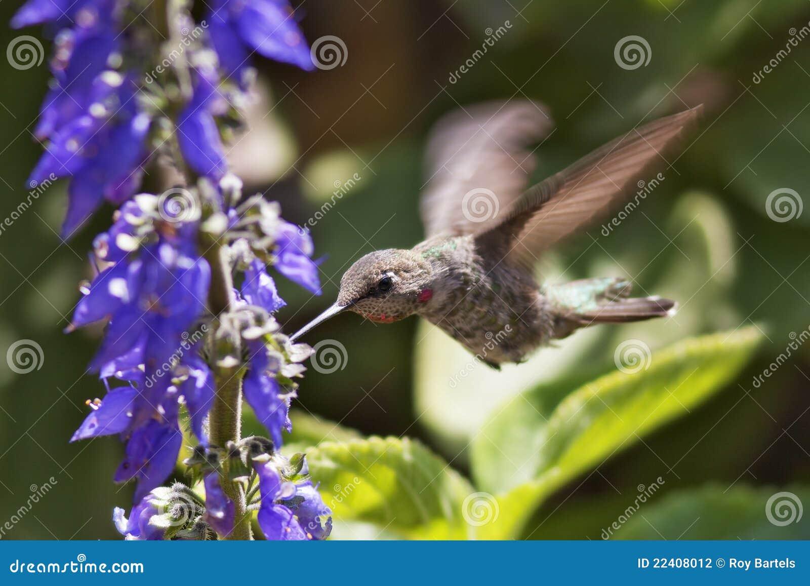 φτερά υδραργύρου
