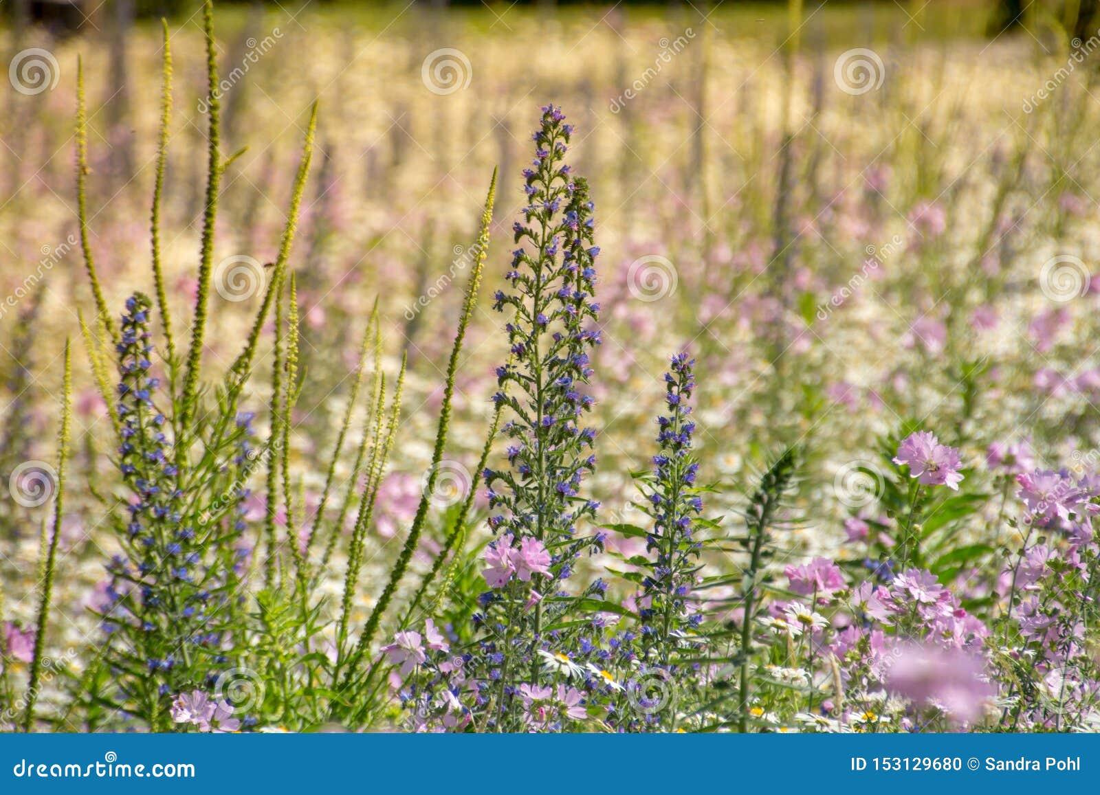 Φυσική ιώδης βιολέτα λιβαδιών λουλουδιών