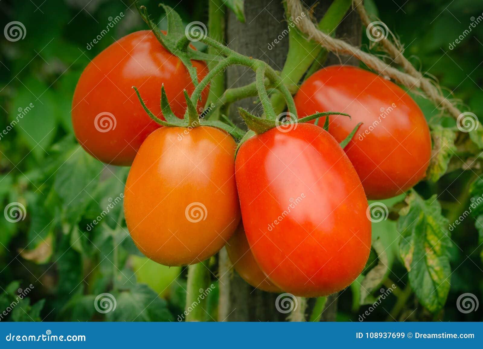 Φυσική ντομάτα από έναν θάμνο