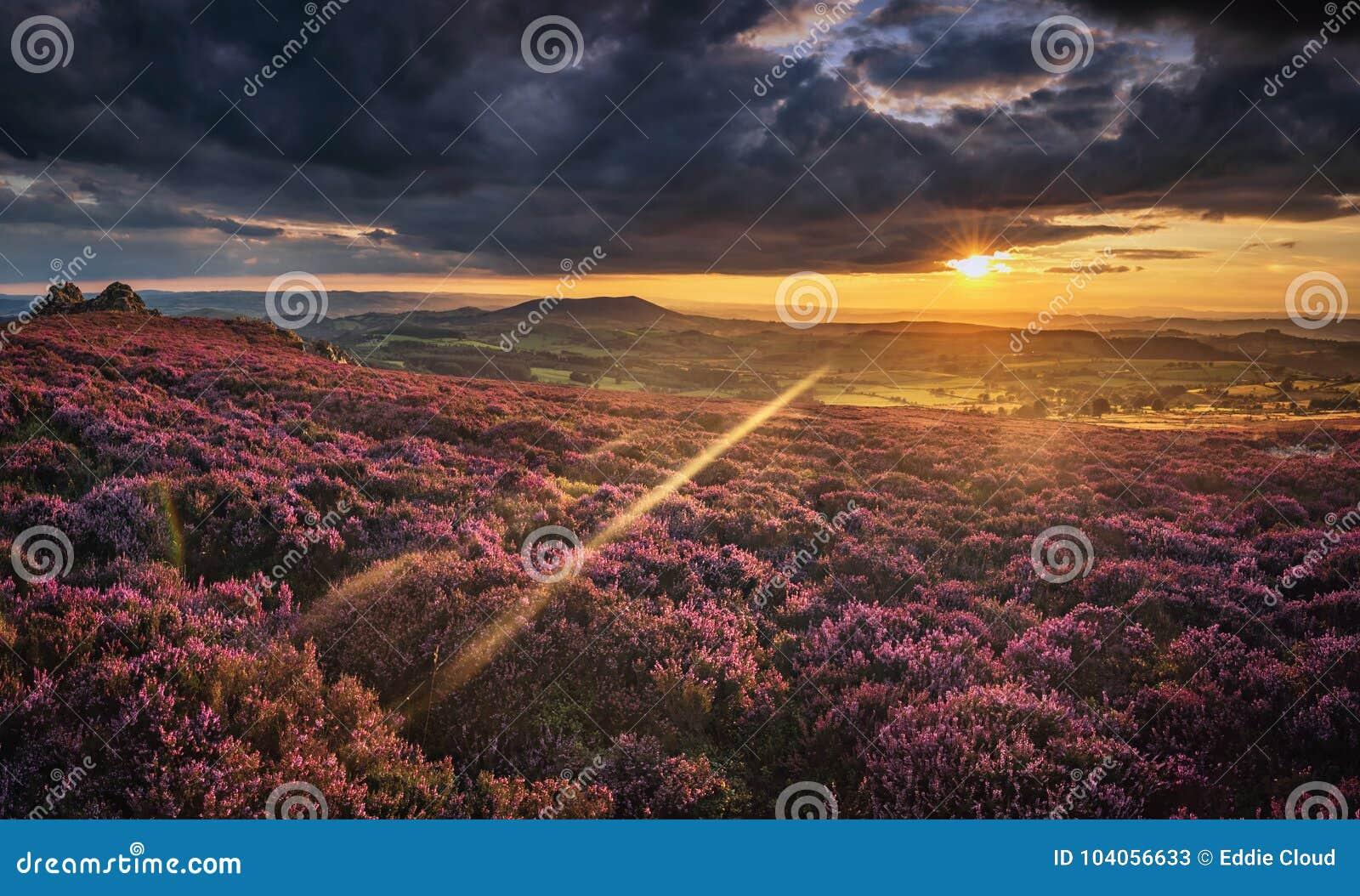 Φυσικό ηλιοβασίλεμα πέρα από το βρετανικό υψίπεδο στα ανθίζοντας λουλούδια της Heather