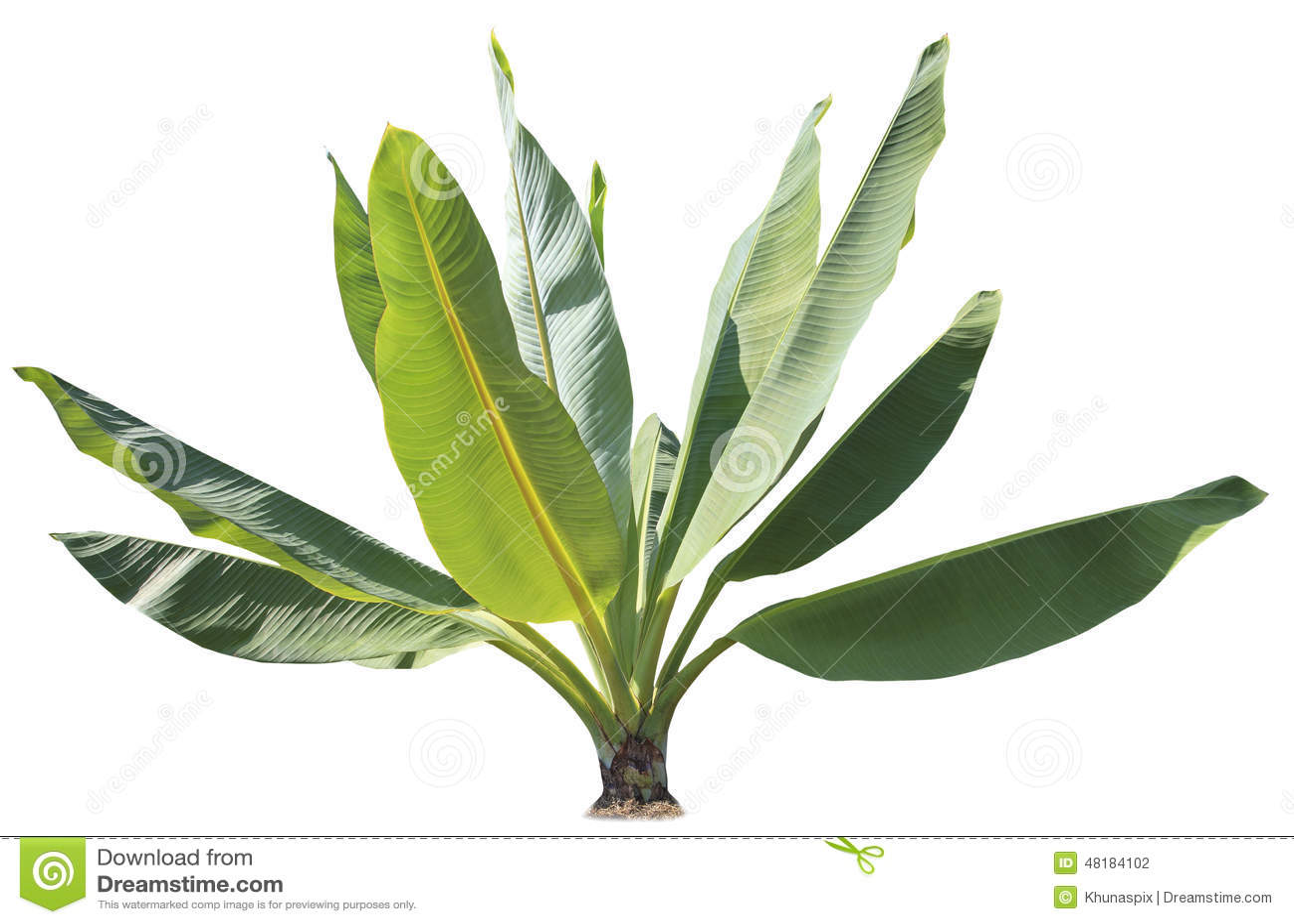 Φυσικό πράσινο φυτό φύλλων μπανανών για διακοσμημένος στο πάρκο και gar