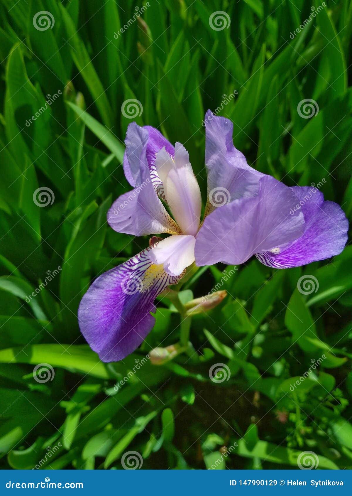 Φυσικό υπόβαθρο, ιώδης ίριδα στο άνθος