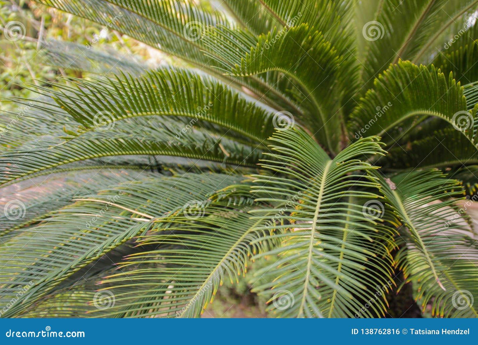 Φυσικό υπόβαθρο: όμορφα φύλλα του τροπικού φοίνικα