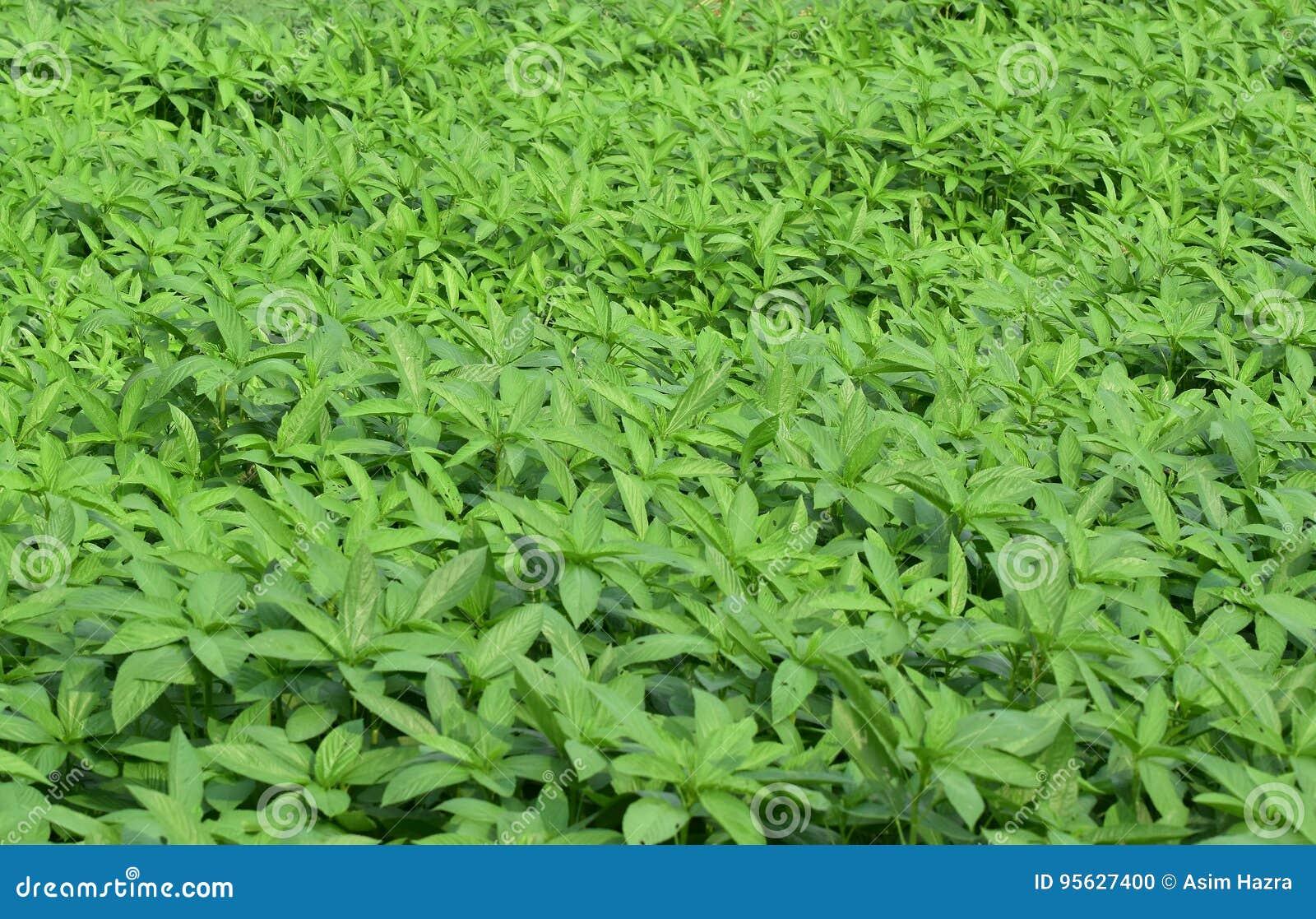 Φυτεία γιούτας