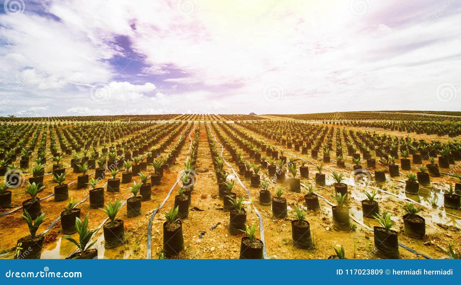 Φυτεία ελαιοφοινίκων ή σπορά ελαιοφοινίκων