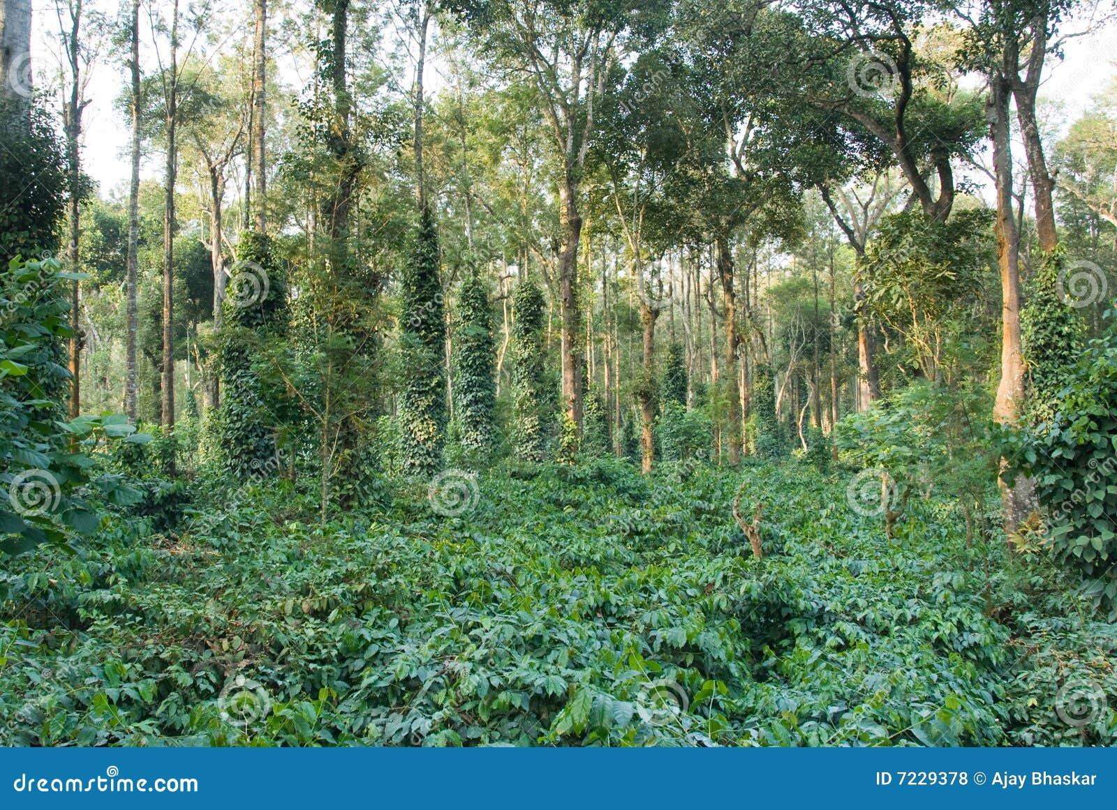 φυτεία καφέ
