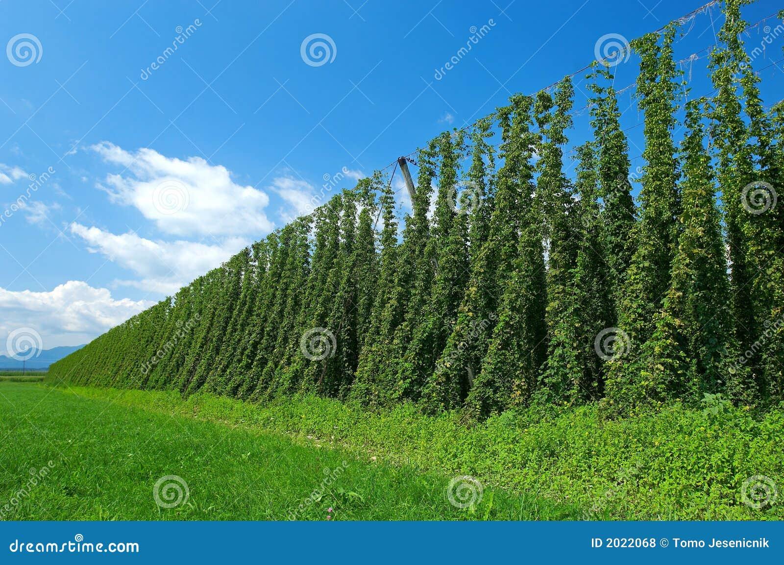 φυτεία λυκίσκου