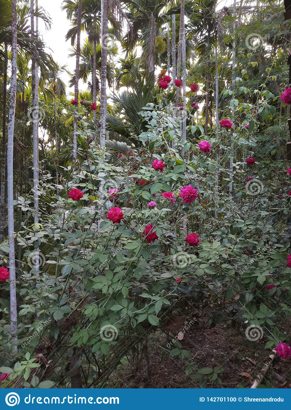Φυτεία με τριανταφυλλιές
