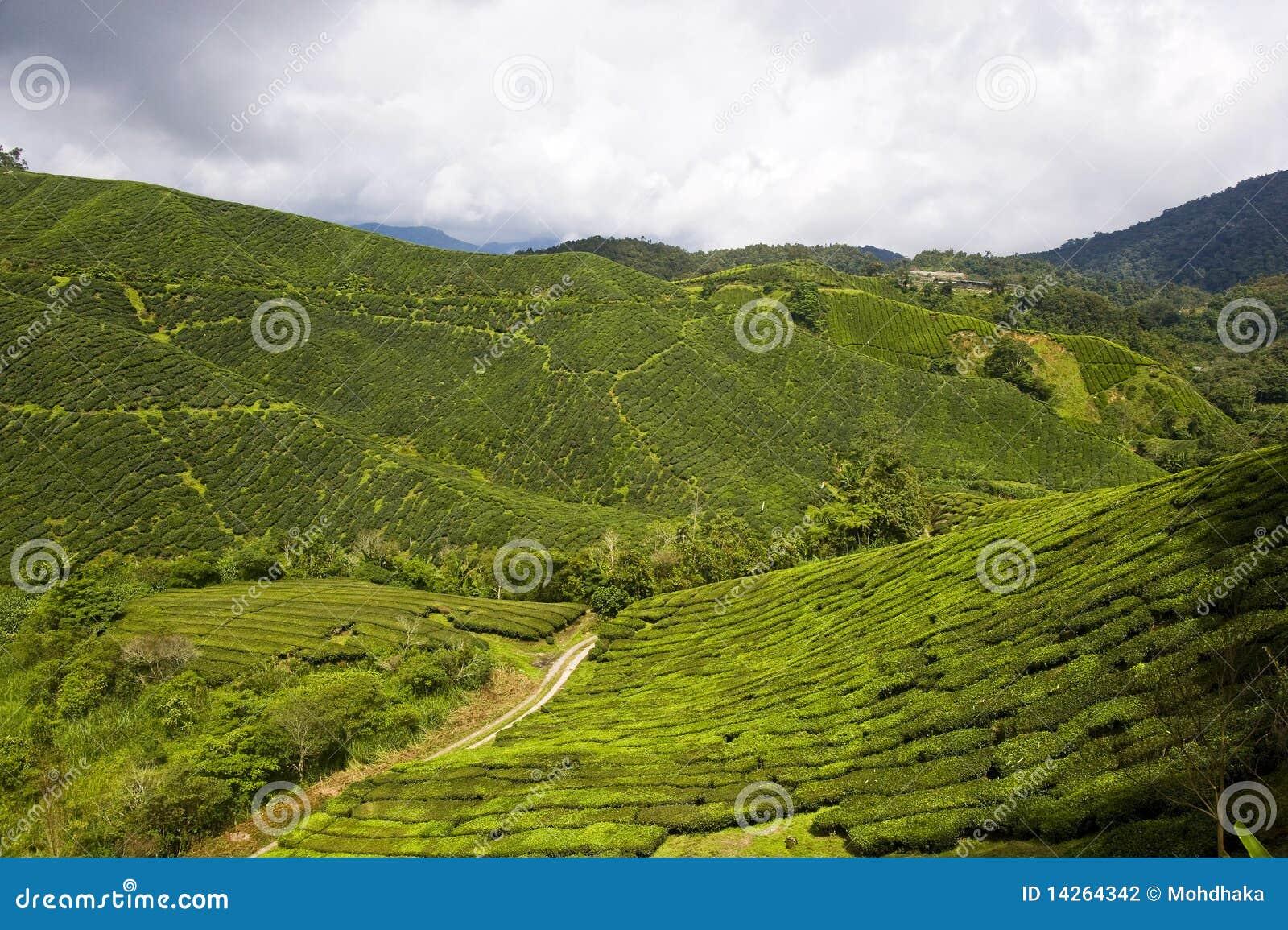 Φυτεία τσαγιού στη Μαλαισία