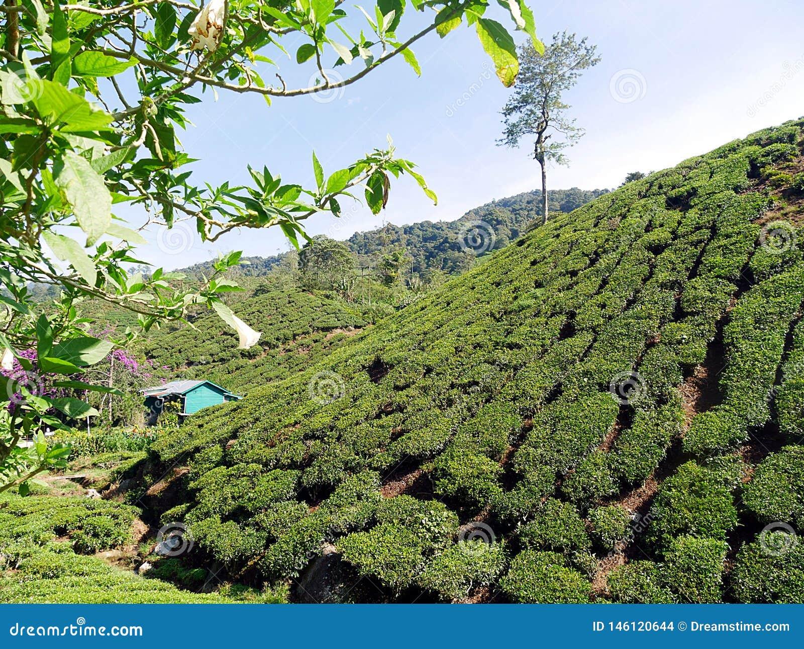 Φυτεία τσαγιού στους λόφους του Χάιλαντς Μαλαισία του Cameron