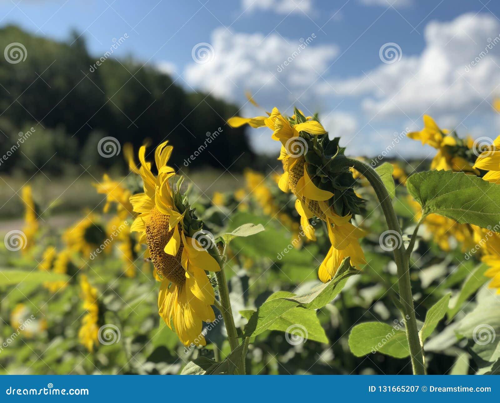 Φυτεία των ηλίανθων ενάντια στο μπλε ουρανό