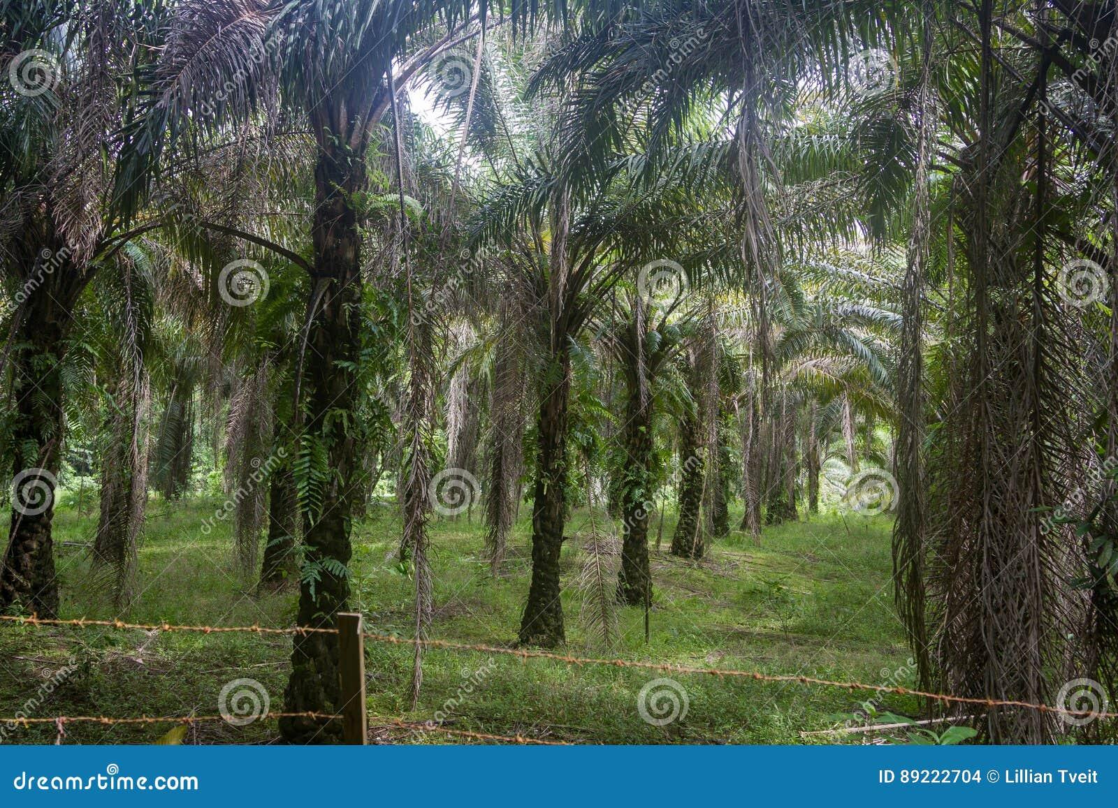 Φυτεία φοινίκων όπου υπήρξε μιά φορά τροπικό δάσος Kuching, Μπόρνεο στη Μαλαισία