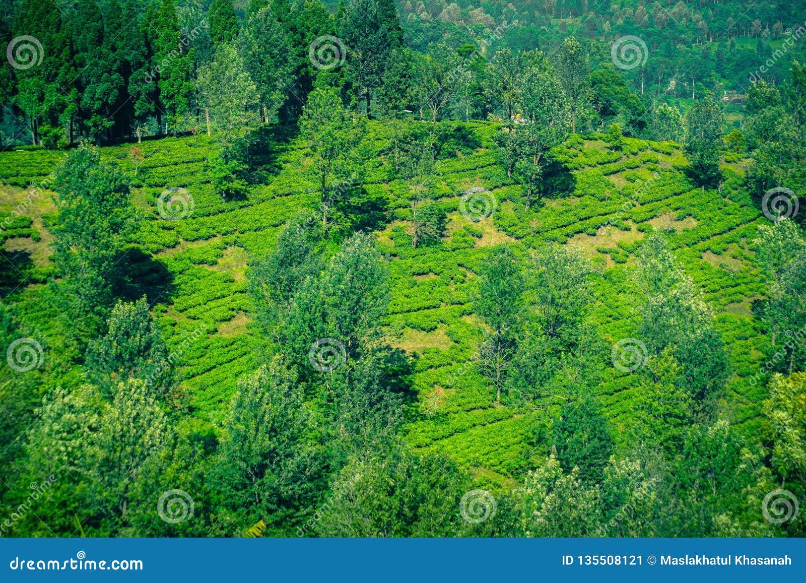 Φυτείες τσαγιού με την άποψη από την κορυφή και το δέντρο στα βουνά στο bogor puncak
