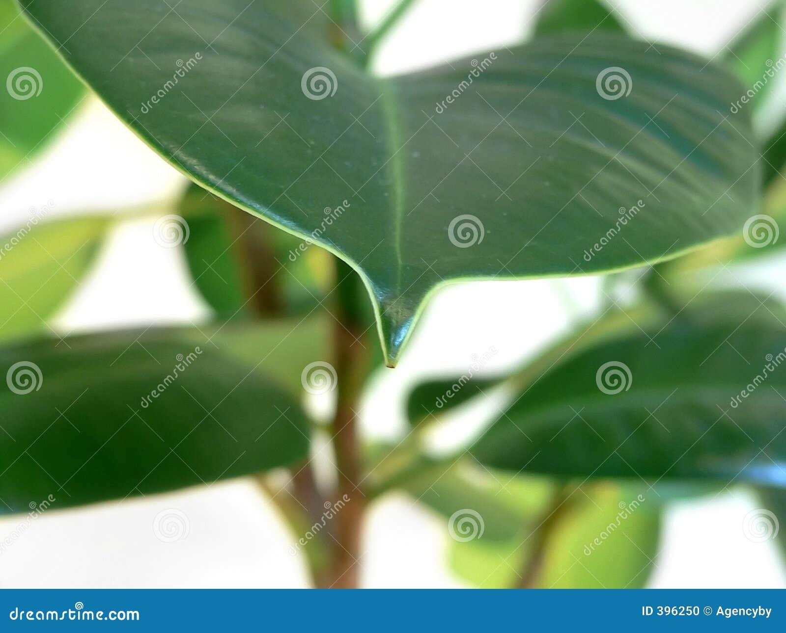 φυτό βασικών φύλλων