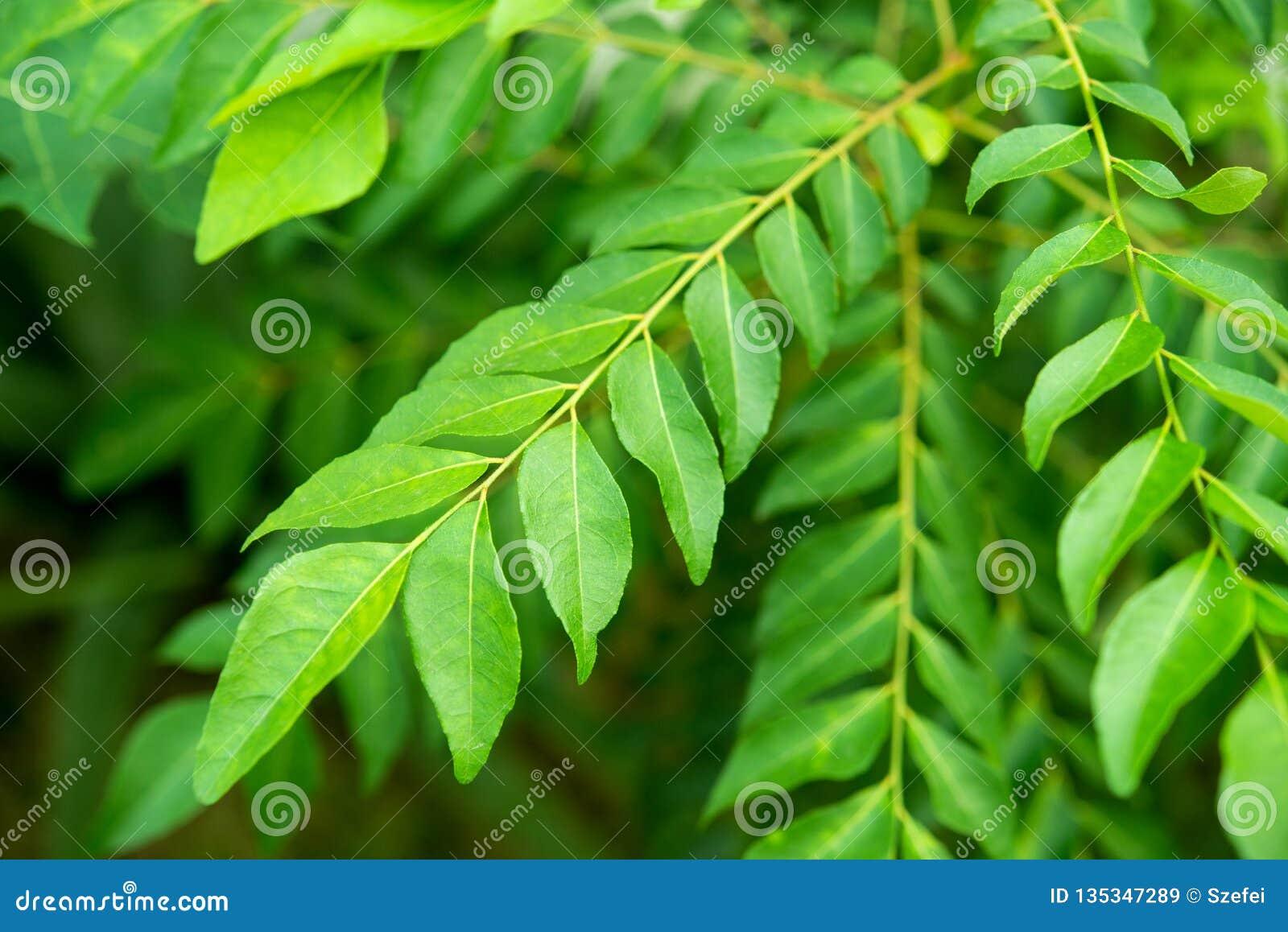 Φυτό δέντρων φύλλων κάρρυ