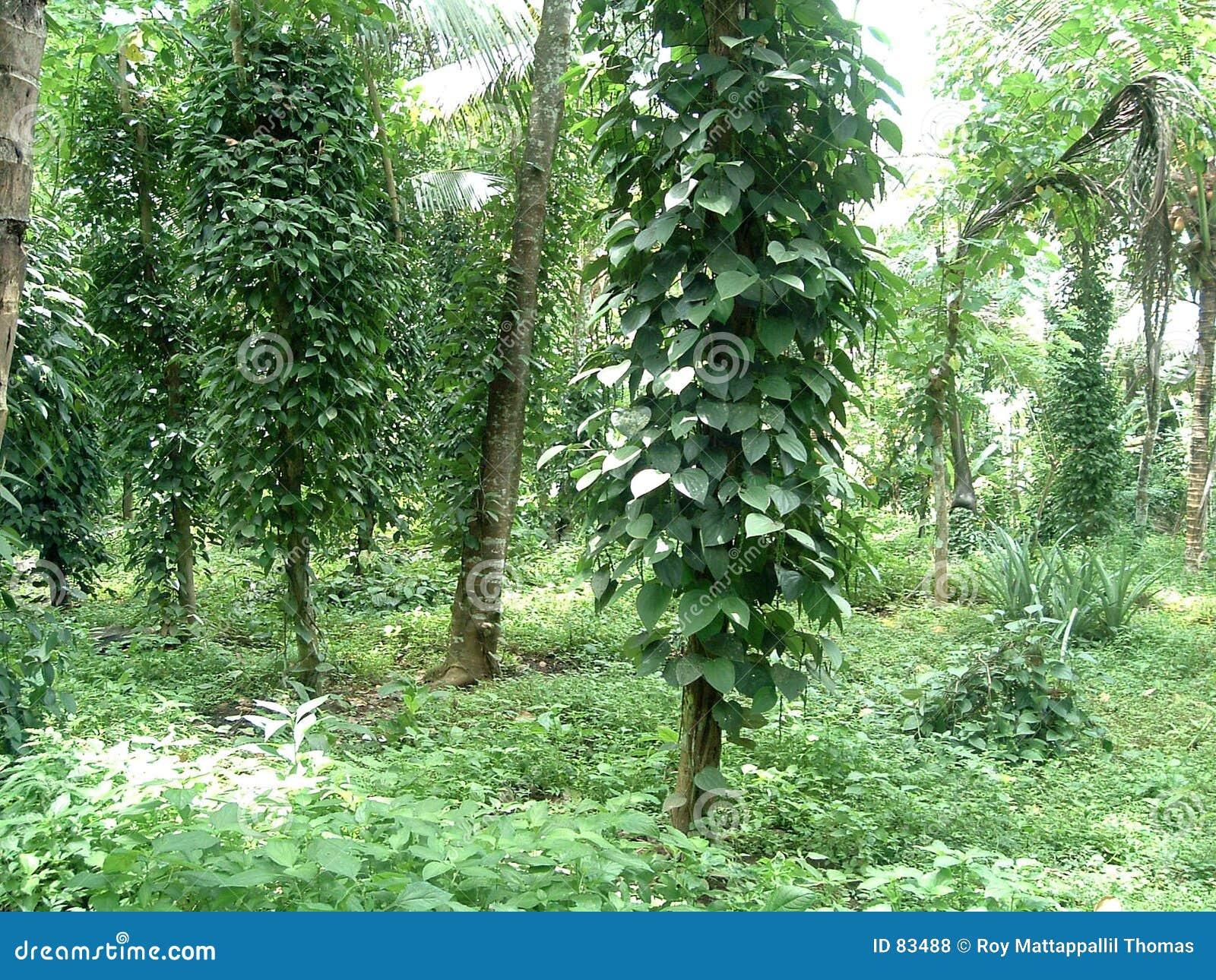 φυτό πιπεριών
