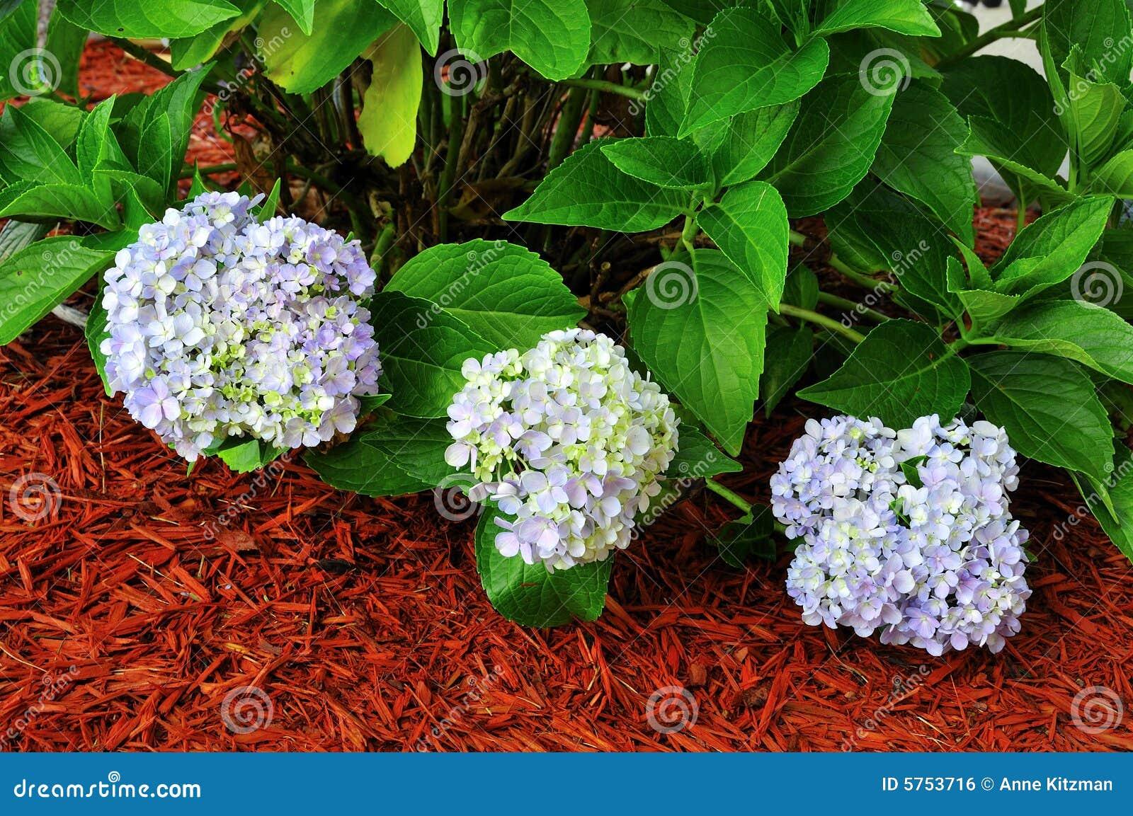 φυτό macrophylla hydrangea