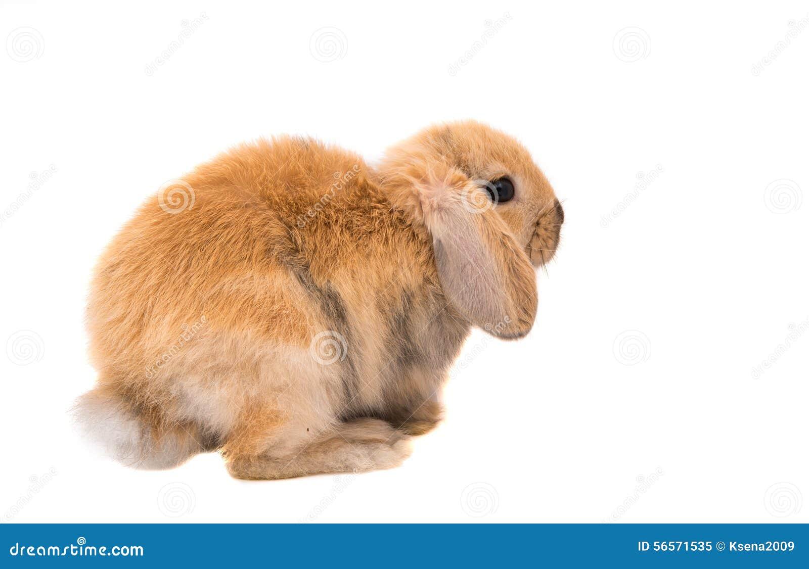 Download Φυλή κριού κουνελιών, κόκκινο χρώμα Στοκ Εικόνα - εικόνα από αυτιά, αντίγραφο: 56571535