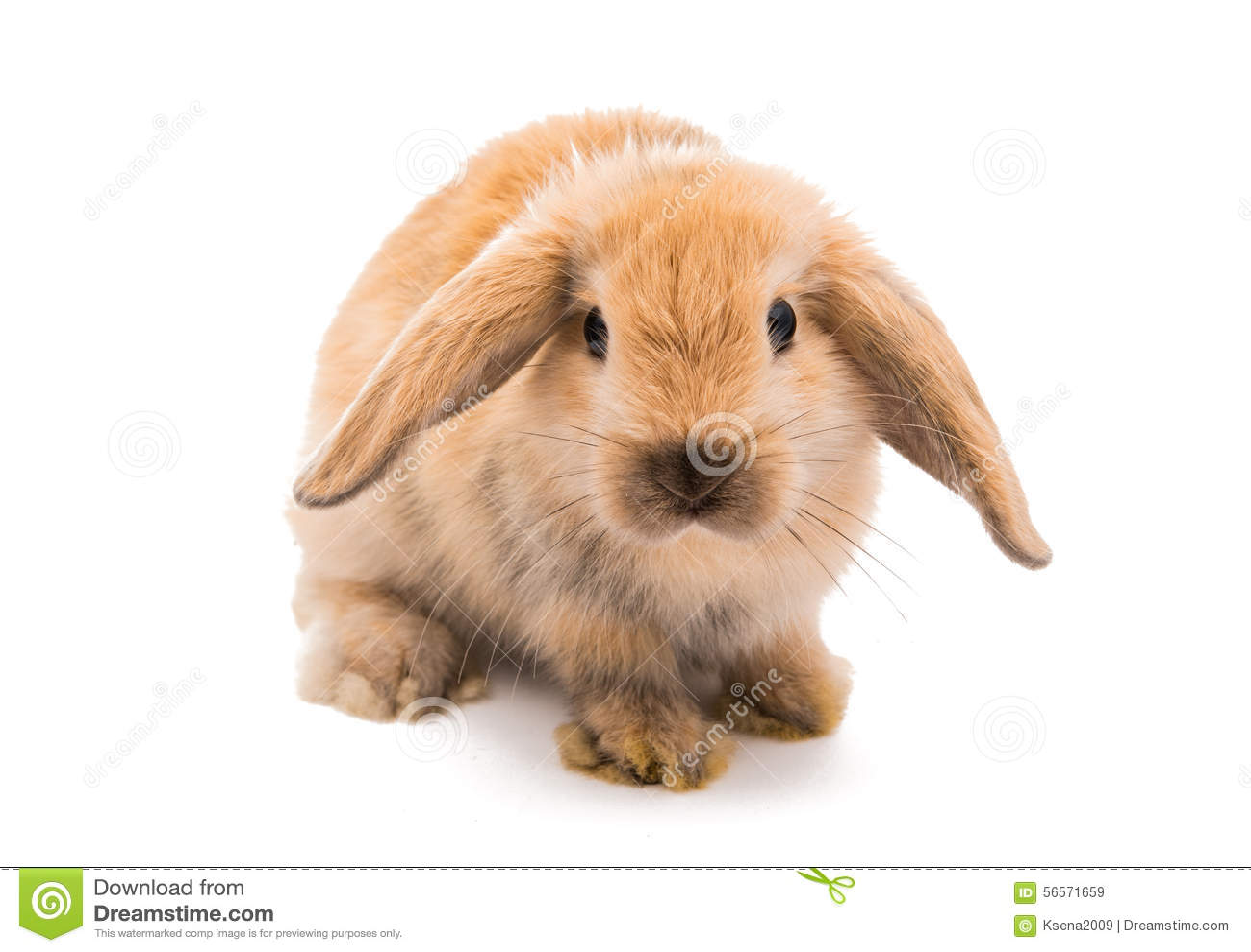 Download Φυλή κριού κουνελιών, κόκκινο χρώμα Στοκ Εικόνα - εικόνα από λαγοί, γαλλικά: 56571659