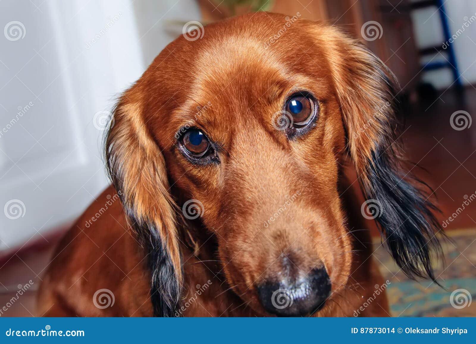 Φυλή σκυλιών dachshund
