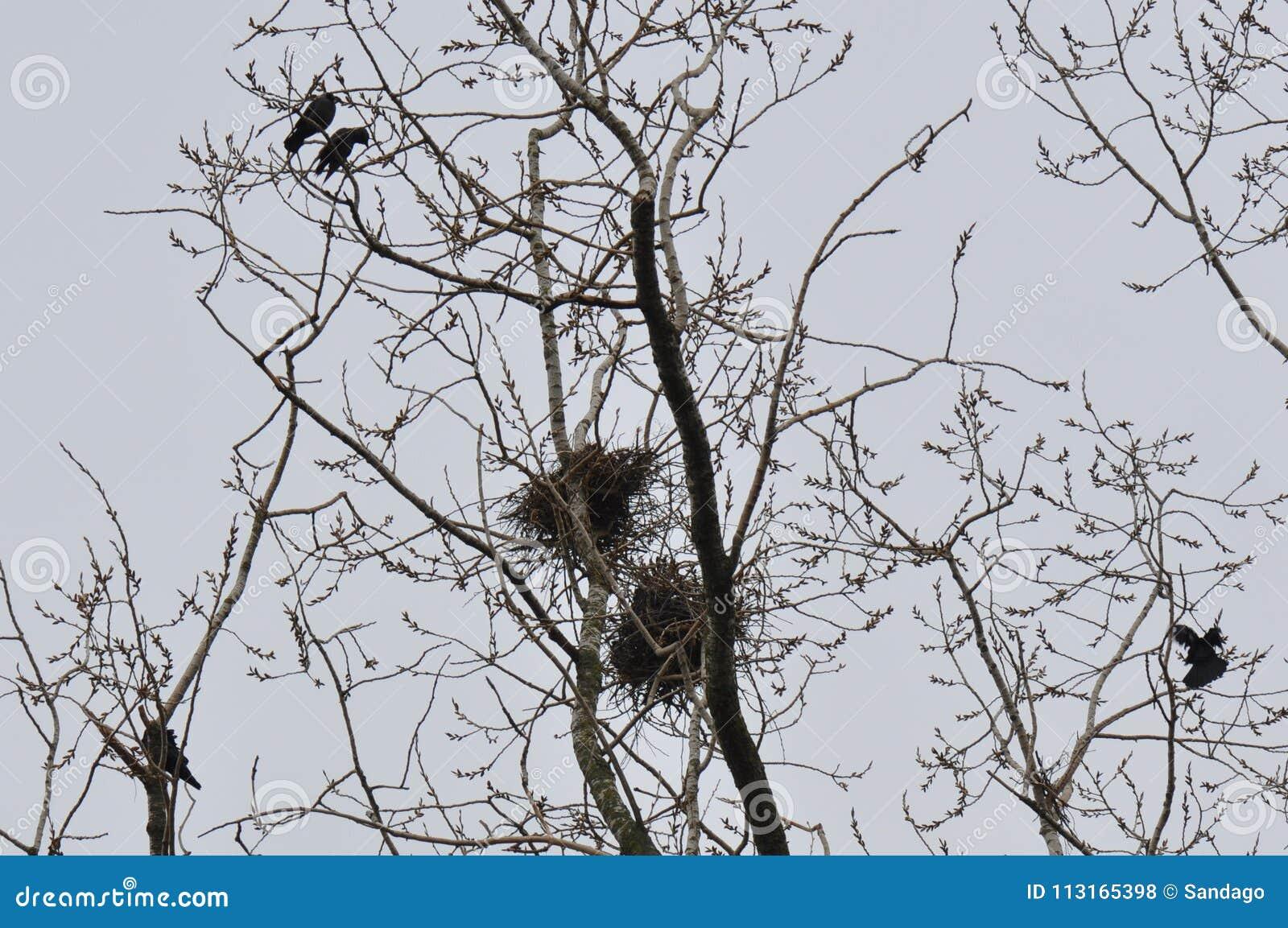 Φωλιά και κόρακες στο τοπ κλάδο δέντρων