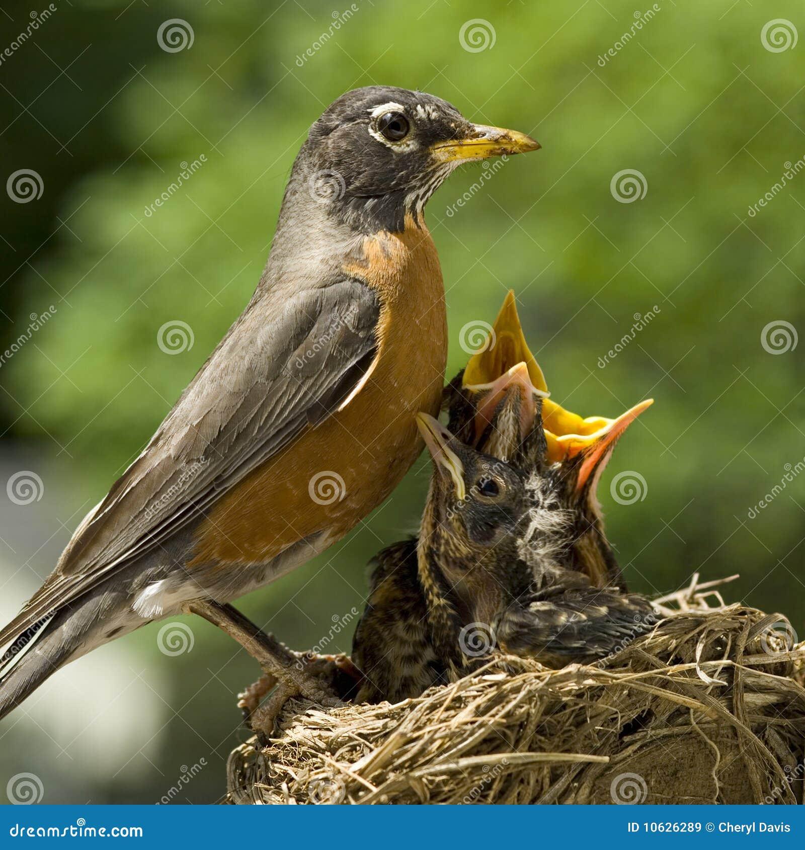 φωλιά Robin μητέρων μωρών