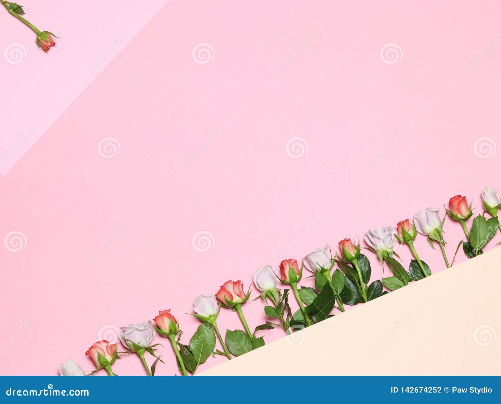 φως λουλουδιών ανασκόπησης playnig Επίπεδος βάλτε με τα ρόδινα τριαντάφυλλα Ρόδινα άσπρα τριαντάφυλλα Ρόδινη ανασκόπηση διακοπών