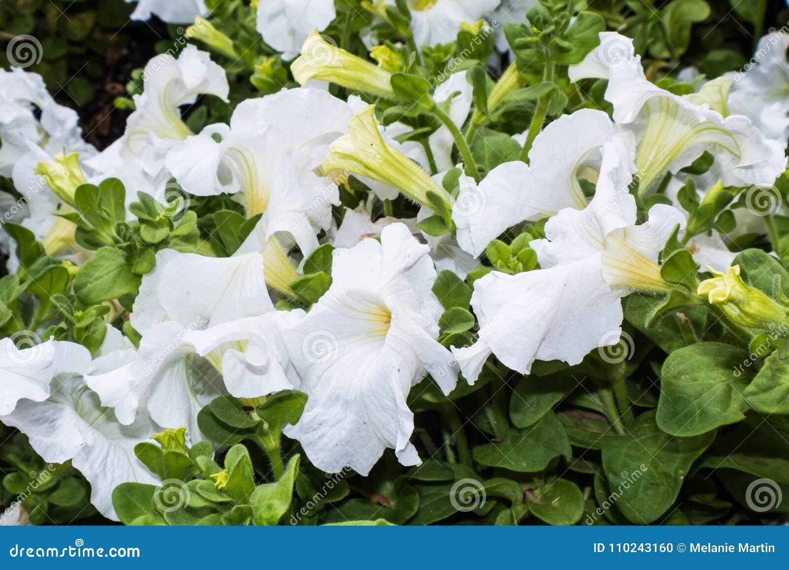 Φωτεινά άσπρα λουλούδια σαλπίγγων με τα πράσινα φύλλα