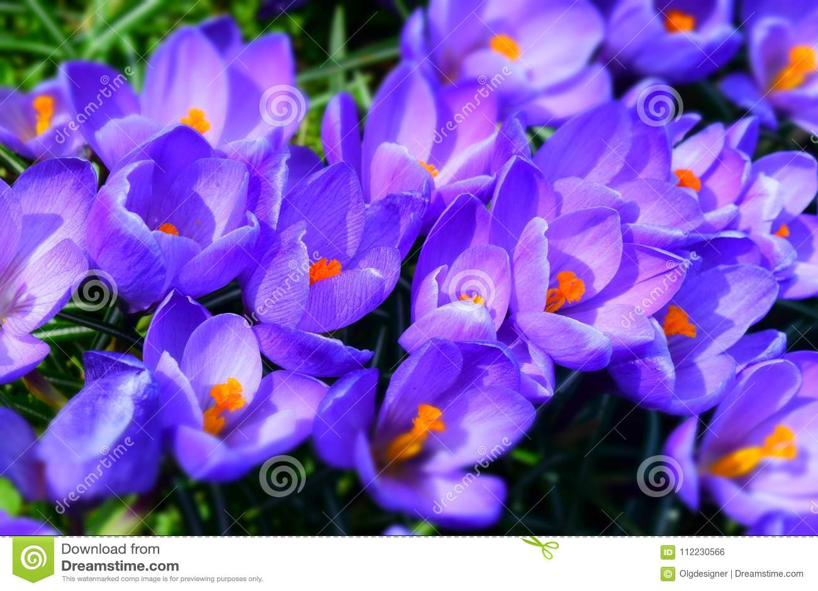 Φωτεινά λουλούδια υπεριωδών κρόκων