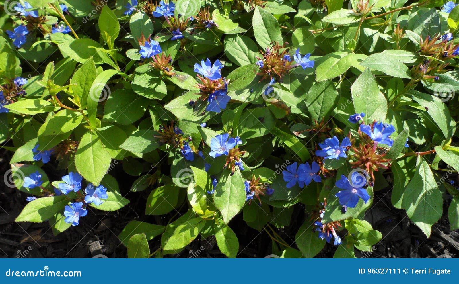 Φωτεινά μπλε άγρια λουλούδια
