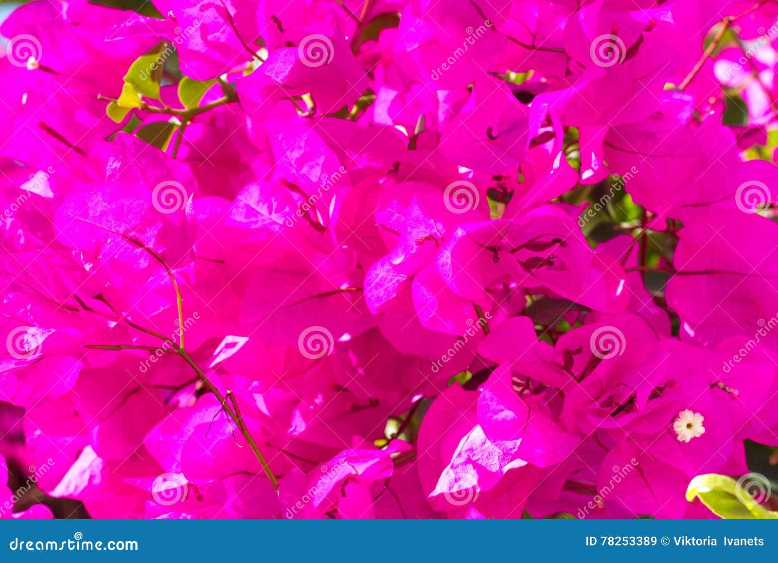 Φωτεινά λουλούδια εγγράφου bougainvillea χρωμάτων Ιώδης παλέτα