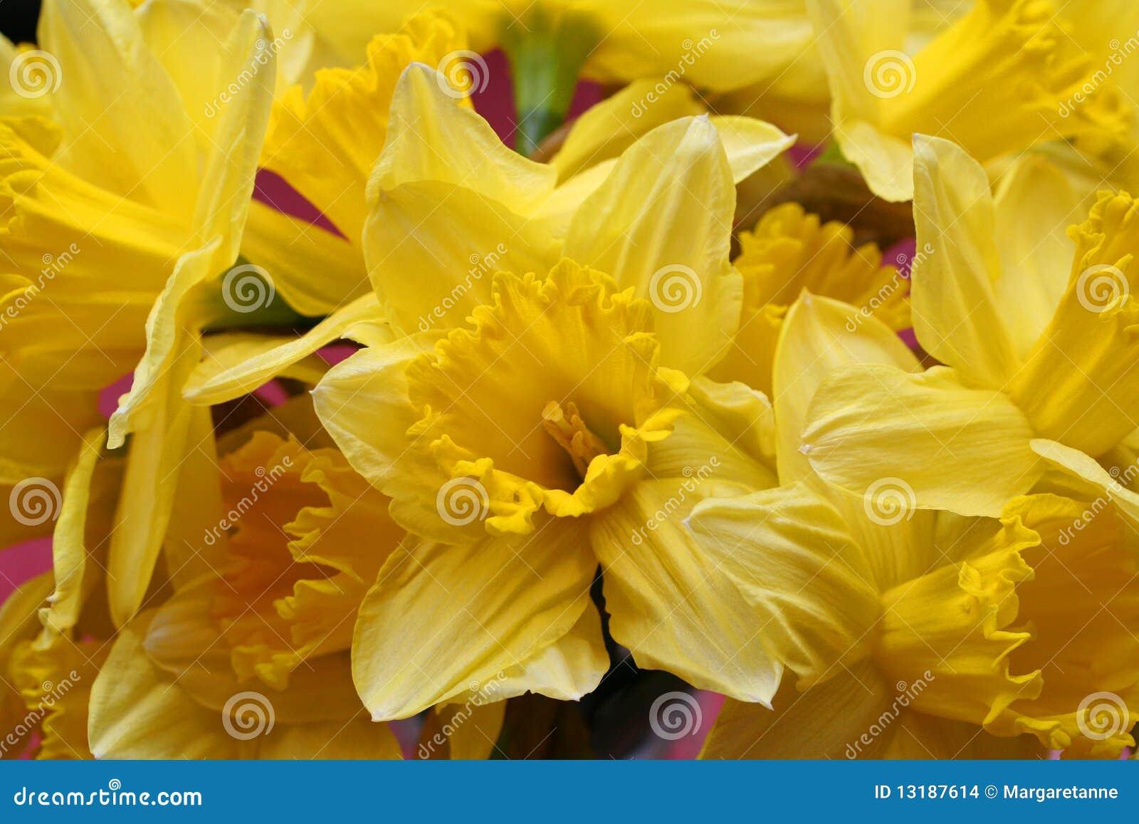 φωτεινά daffodils κίτρινα