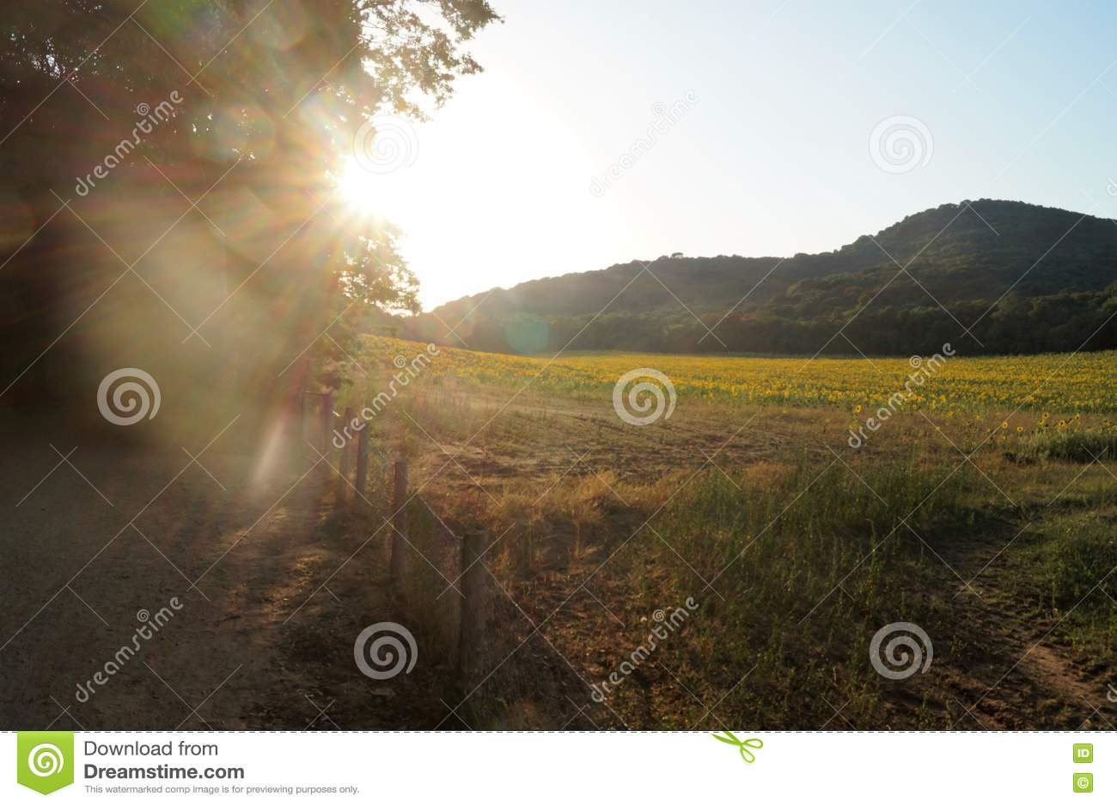 φωτεινός ηλίανθος ήλιων πρόσφατου καλοκαιριού λουλουδιών κεντρικών πεδίων μελισσών κίτρινος