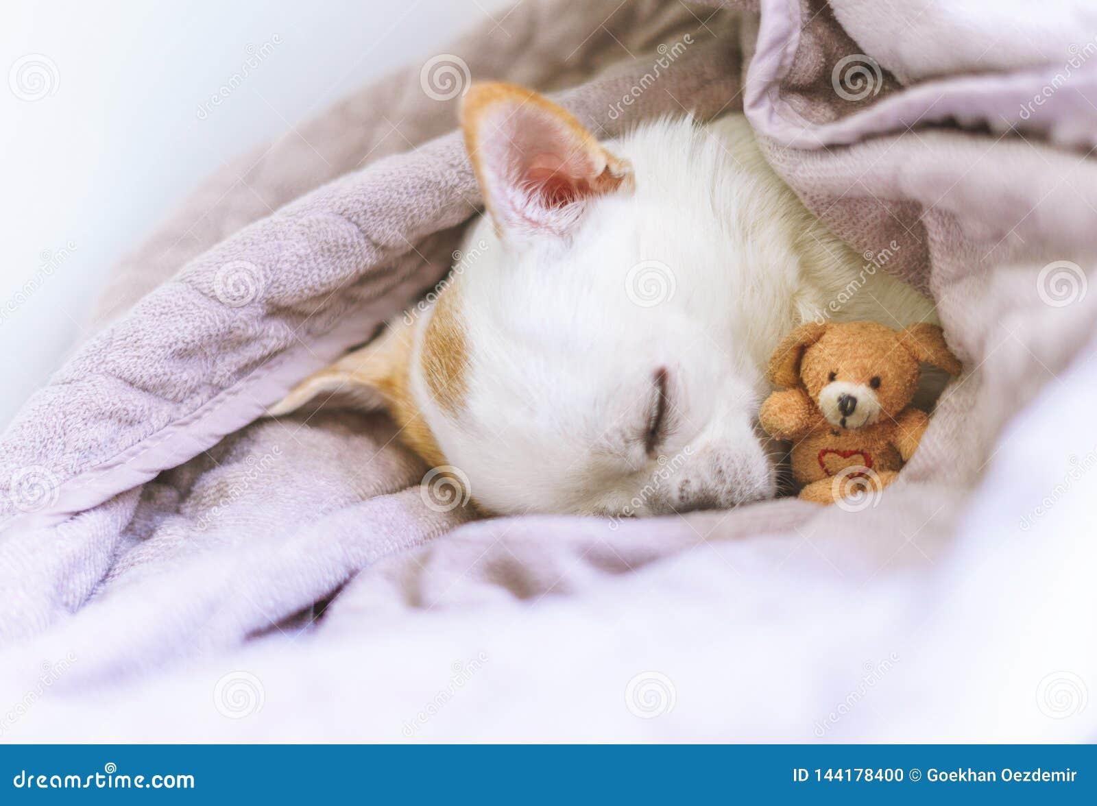Φωτογραφία ενός chihuahua ύπνου στο καλάθι με teddy του