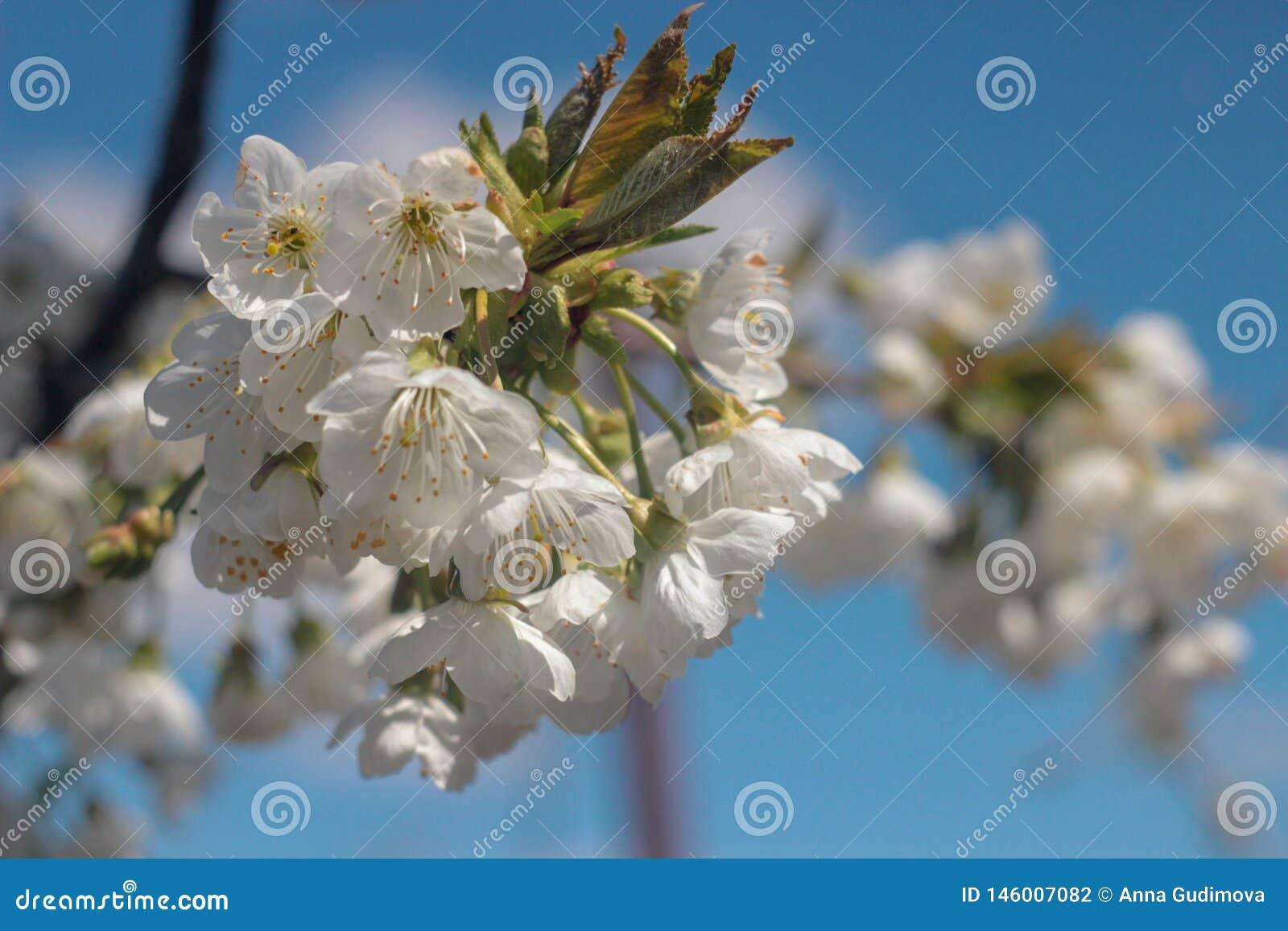 Φωτογραφία του ανθίζοντας δέντρου κερασιών