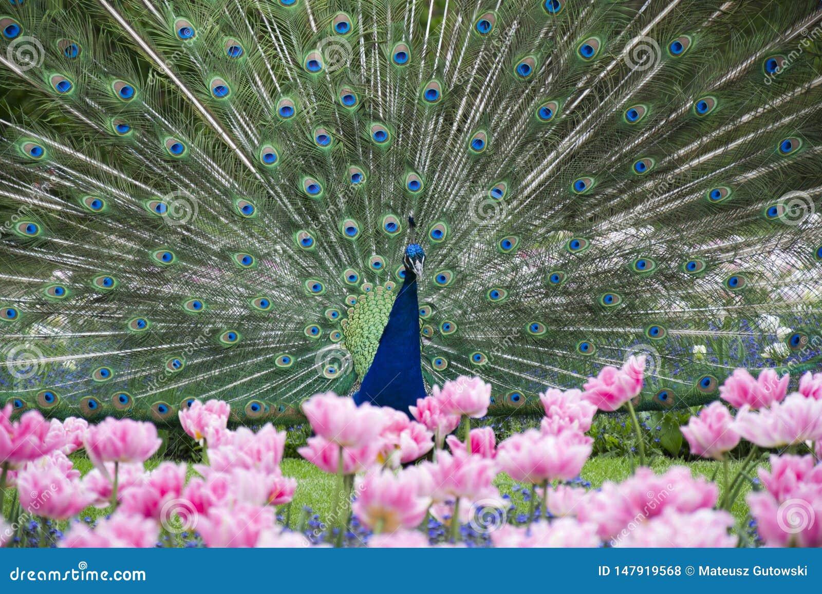 Φωτογραφία του όμορφου peacock με τα λουλούδια