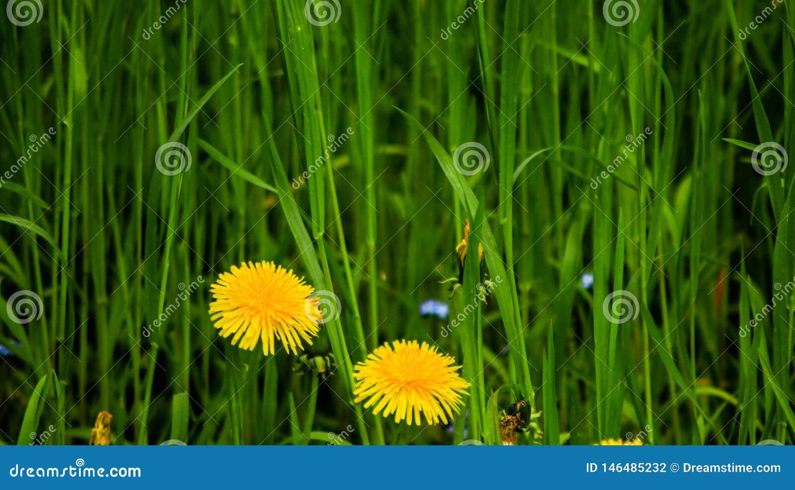 Φωτογραφία των κίτρινων πικραλίδων στην υψηλή πράσινη χλόη
