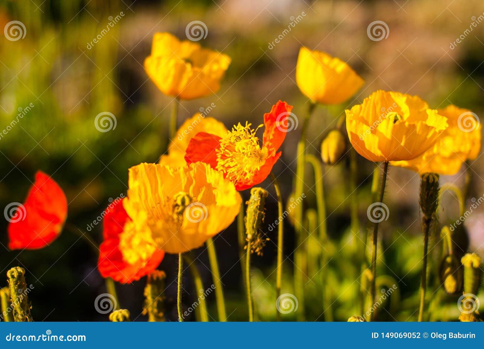 Φωτογραφία των όμορφων λουλουδιών παπαρουνών