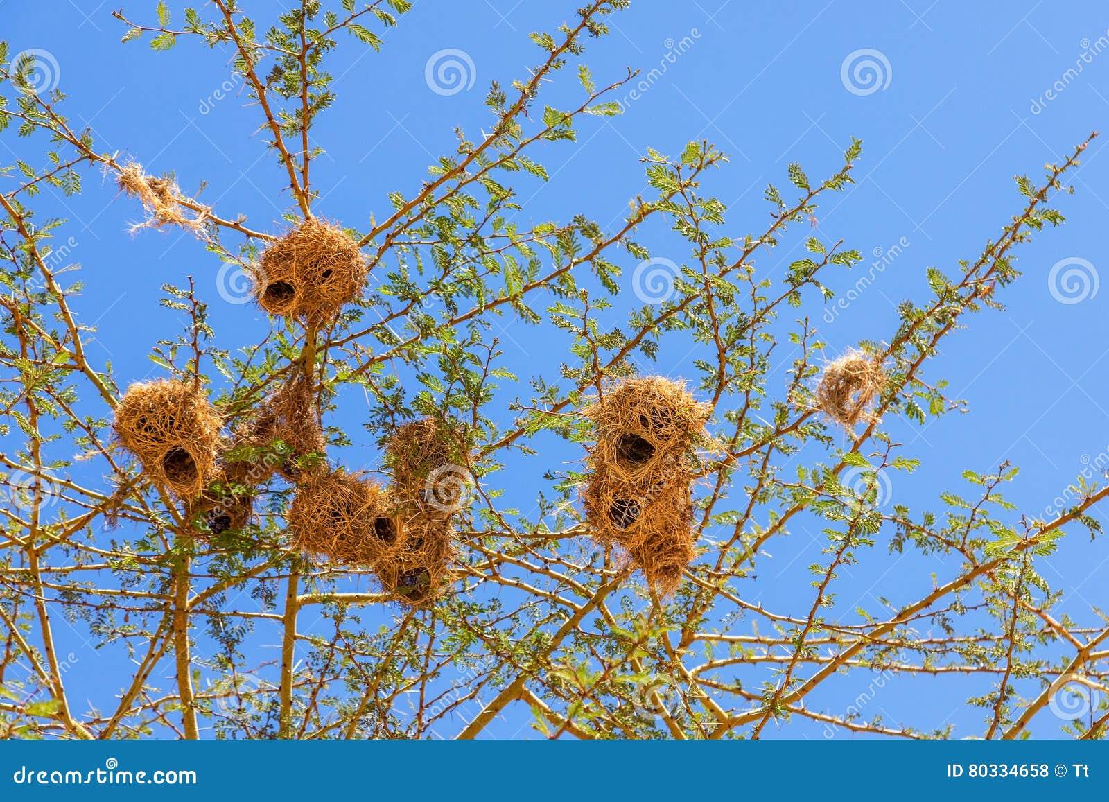 Φωλιές πουλιών υφαντών