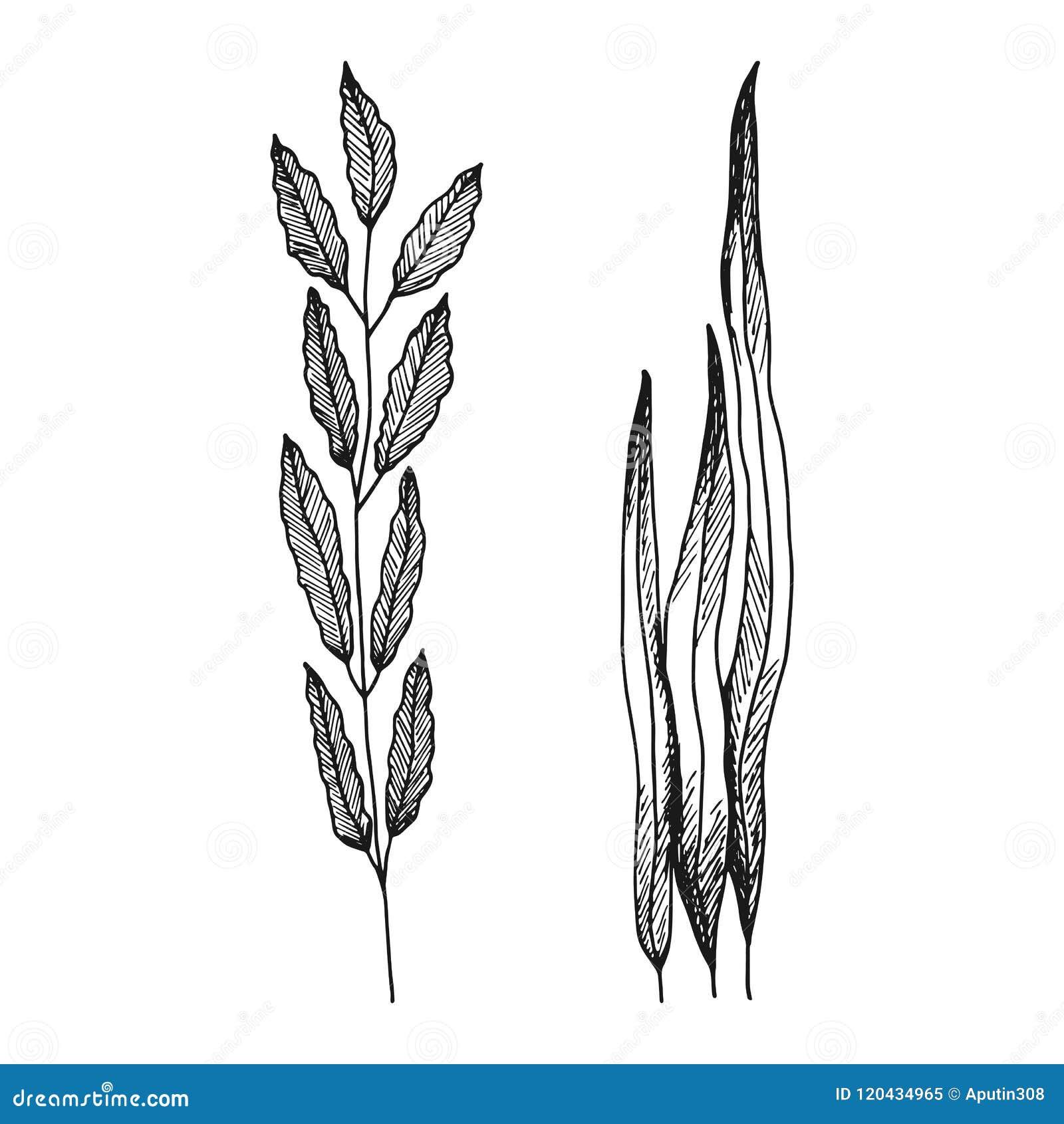 Φύκι με τα φύλλα το απλό διανυσματικό σκίτσο απομόνωσε το μαύρο silhoue