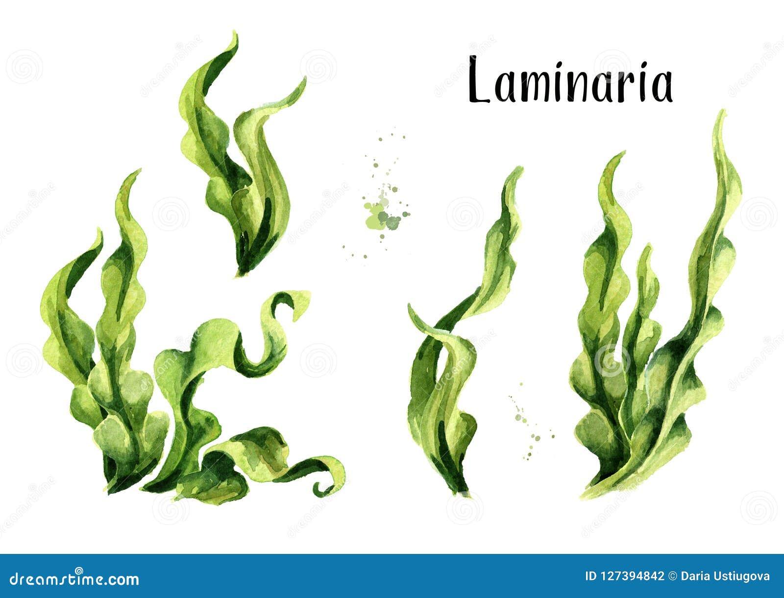 Φύκι Laminaria, κατσαρό λάχανο θάλασσας Σύνολο σύνθεσης αλγών Superfood Συρμένη χέρι απεικόνιση Watercolor, που απομονώνεται στο