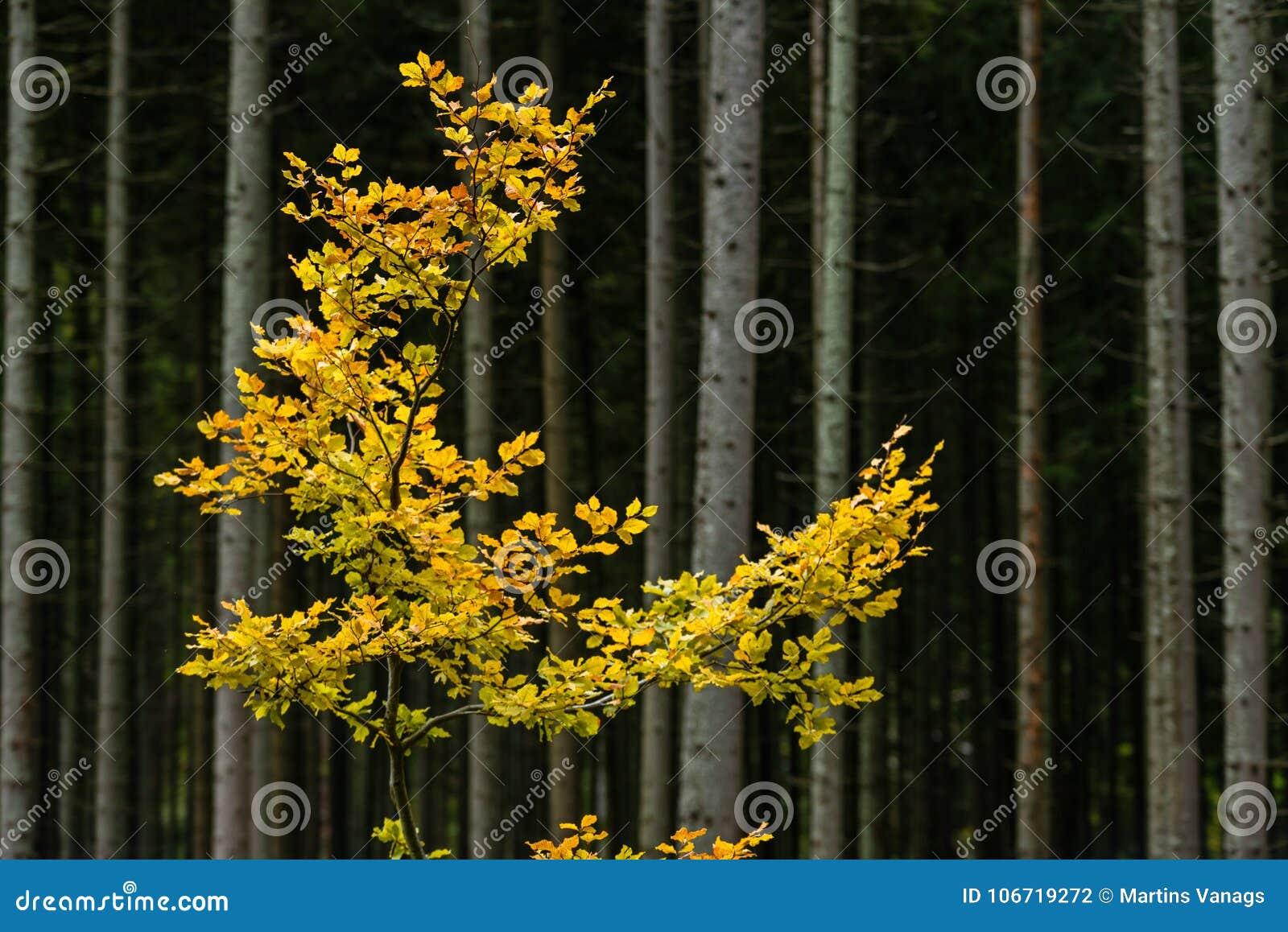 Φύλλα δέντρων Mapple το φθινόπωρο στο σκοτεινό κλίμα