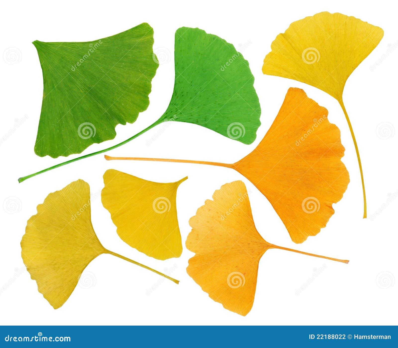 φύλλα ερμπαρίων ginkgo biloba