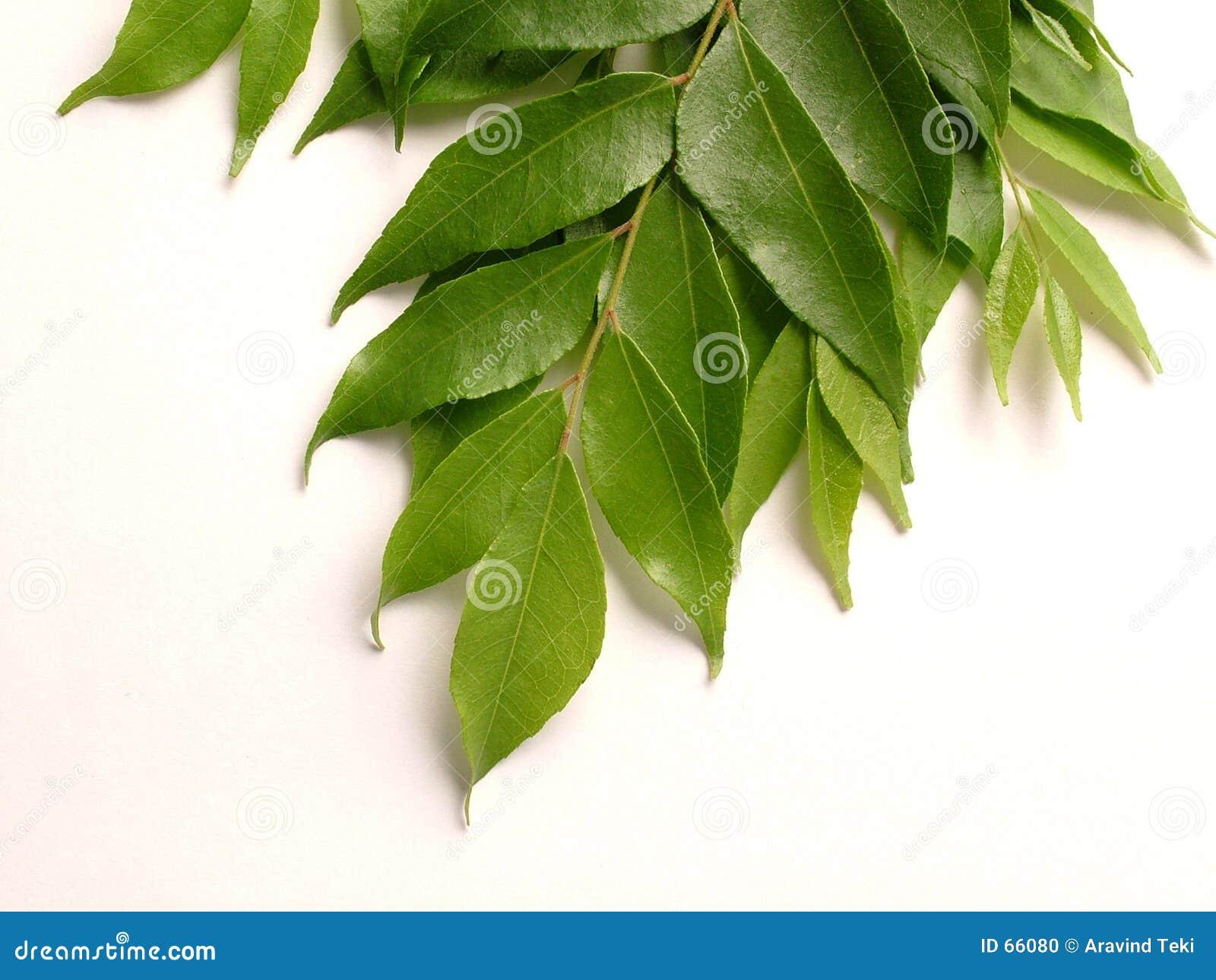 φύλλα κάρρυ