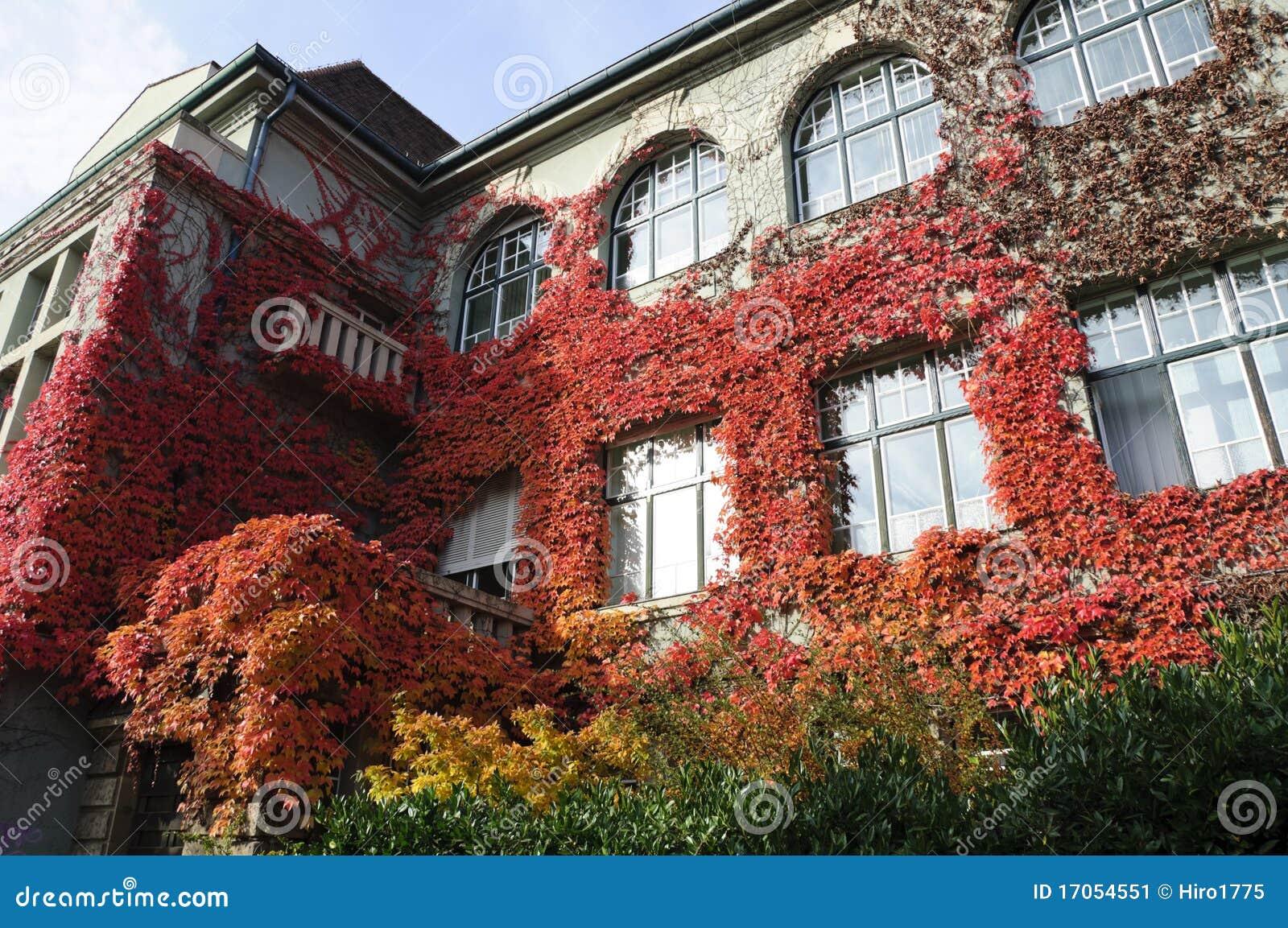 φύλλα κισσών φθινοπώρου
