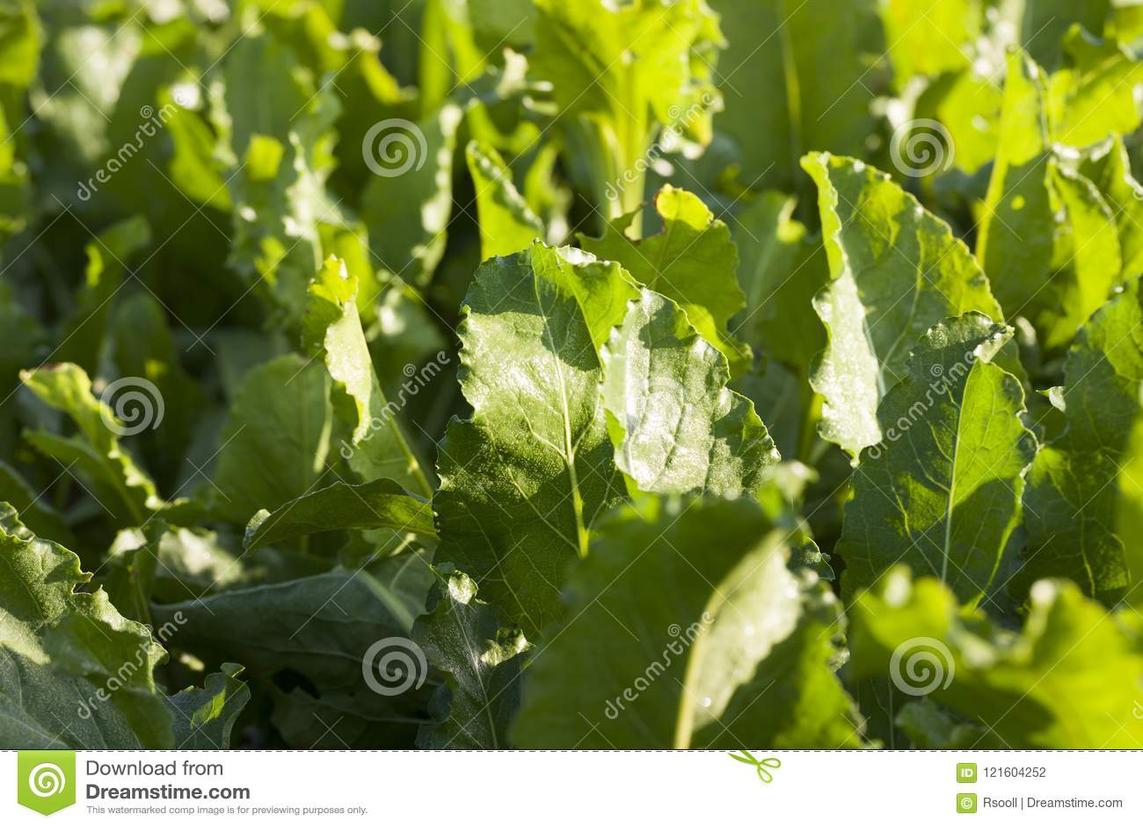 Φύλλα παντζαριών