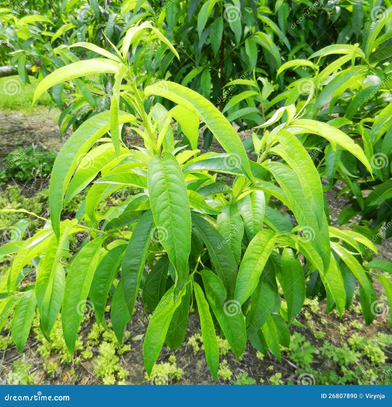 Φύλλα ροδάκινων
