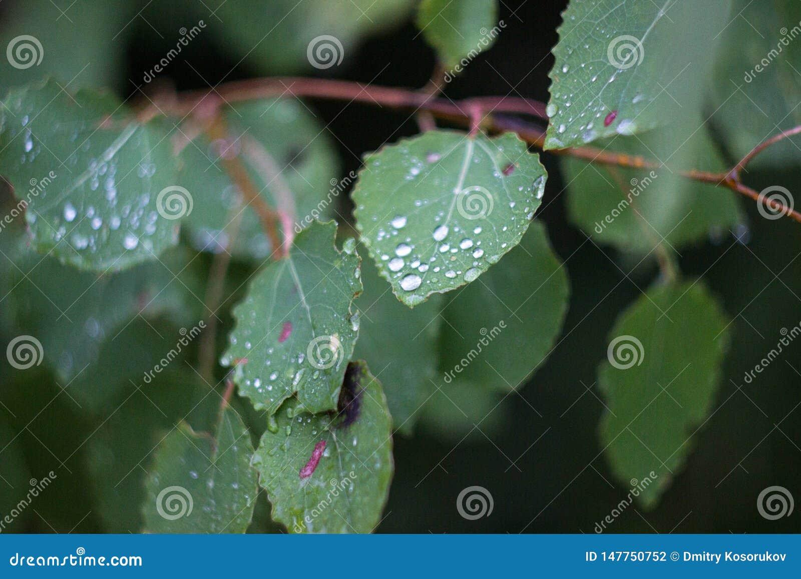 Φύλλα σημύδων στις πτώσεις δροσιάς